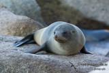 New Zealand Fur-Seal