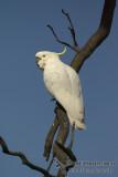 Sulphur-crested Cockatoo 0509kw.jpg