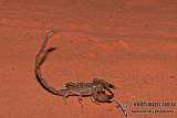 Scorpian - Urodacus spp.