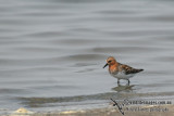Red-necked Stint a6872.jpg