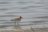Red-necked Stint a6878.jpg