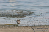 Red-necked Stint a6947.jpg