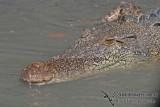 Crocodiles - Crocodylidae