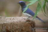 Blue & White Flycatcher a1069.jpg