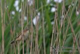 Black browed Warbler - Acrocephalus bistrigiceps