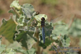 Black-headed Skimmer - Crocothemis nigrifrons