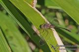 Short-tailed Dusk-darter - Zyxomma elgneri
