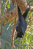 Black Flying-fox