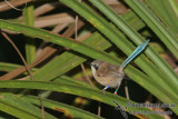 Purple-crowned Fairy-wren with colour bands a2466.jpg