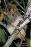 Golden-backed Tree Rat