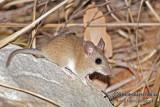 Common Rock Rat