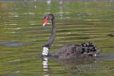 Black Swan Neck collar a3862.jpg