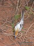 Broad-billed Flycatcher research a0001.jpg