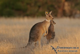 Kangaroo Research a4503.jpg