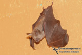 Northern Leaf-nosed Bat