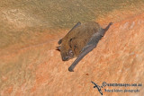 Northern Cave Bat
