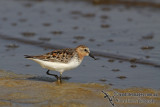 Red-necked Stint a0040.jpg