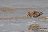 Red-necked Stint a0625.jpg