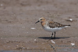 Red-necked Stint a0627.jpg
