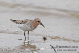 Red-necked Stint a0811.jpg