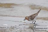 Red-necked Stint a0817.jpg