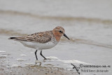 Red-necked Stint a0824.jpg