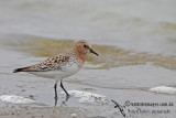 Red-necked Stint a0832.jpg
