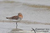 Red-necked Stint a0966.jpg