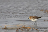 Red-necked Stint a8583.jpg