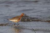 Curlew Sandpiper a9671.jpg