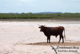 Domestic Cattle a6490.jpg