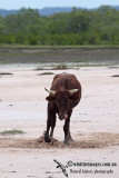 Domestic Cattle a6496.jpg