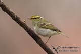 Pallas's Warbler - Phylloscopus proregulus