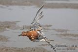 Threats to migratory shorebirds