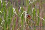 Northern Parrotbill - Paradoxornis polivanovi