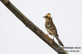 Yellow-throated Bunting - Emberiza elegans