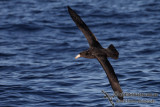 Northern Giant-Petrel 2568.jpg