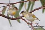 Red-browed Pardalote 4391.jpg
