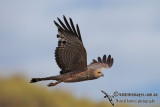 Spotted Harrier 6698.jpg