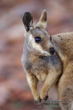 Black-footed Rock-Wallaby 6450.jpg