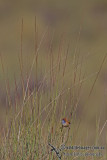 Rufous-crowned Emu-wren 6692.jpg
