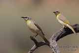 Grey-headed Honeyeater 5693.jpg