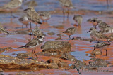 Semipalmated Plover a3955.jpg