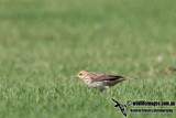 Red-throated Pipit a4596.jpg