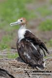 Lesser Frigatebird 8368.jpg