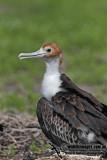 Lesser Frigatebird 8380.jpg