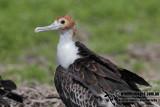 Lesser Frigatebird 8397.jpg