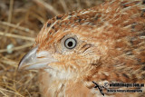 Little Button-quail