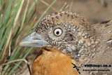 Red-chested Button-quail
