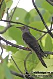 Indian Cuckoo 9623.jpg